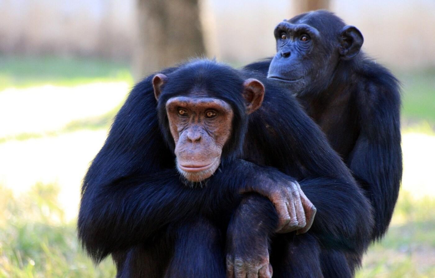 Overwinning voor PETA Duitsland: Het Schwabenpark stopt met chimpansee en papegaai tentoonstellingen