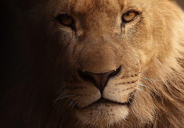 Zoon van Cecil de leeuw in Zimbabwe gedood door jagers