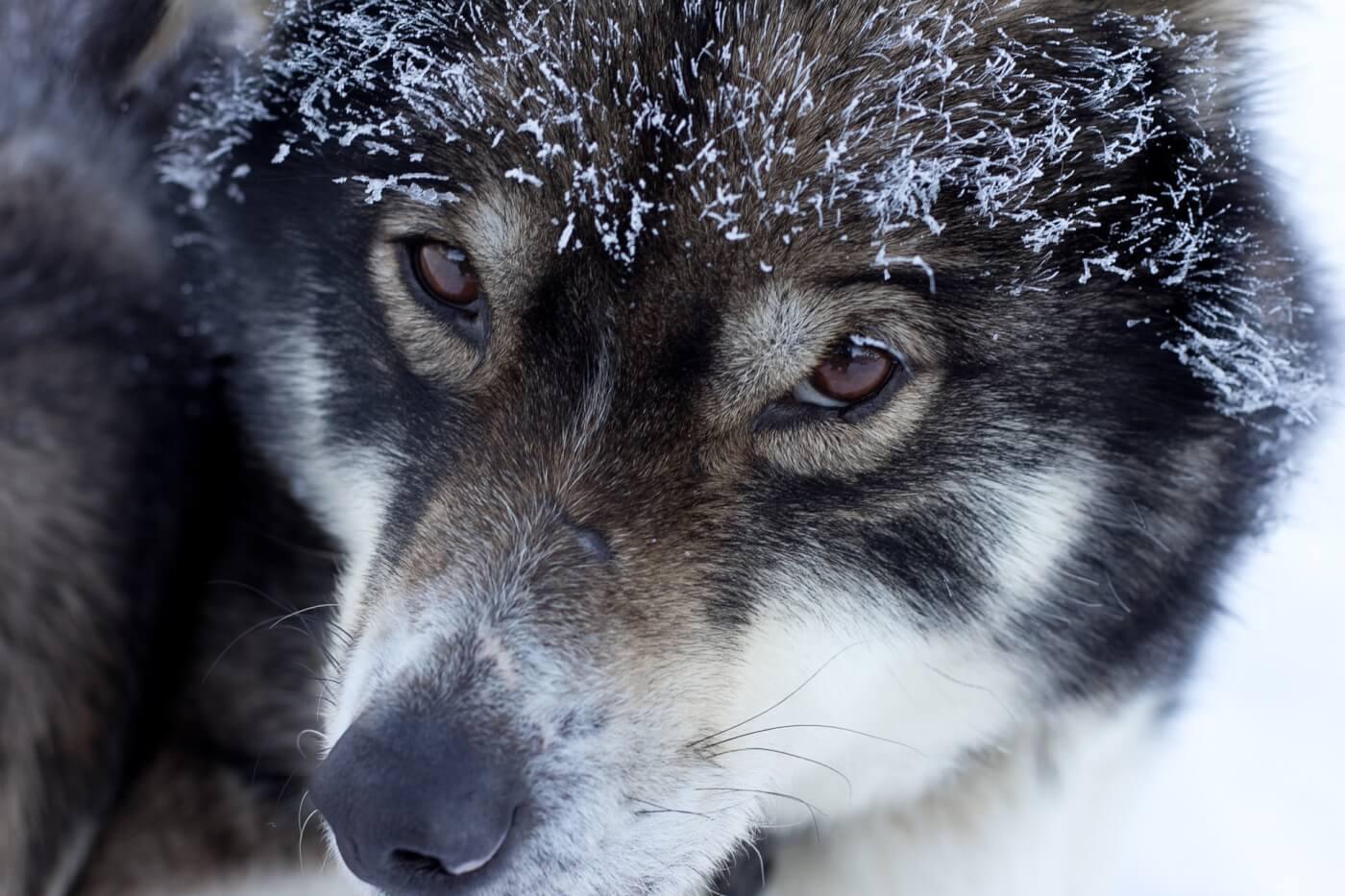 """Peter Dinklage waarschuwt dat het kopen van huskies als """"reuzenwolven"""" honden benadeelt"""