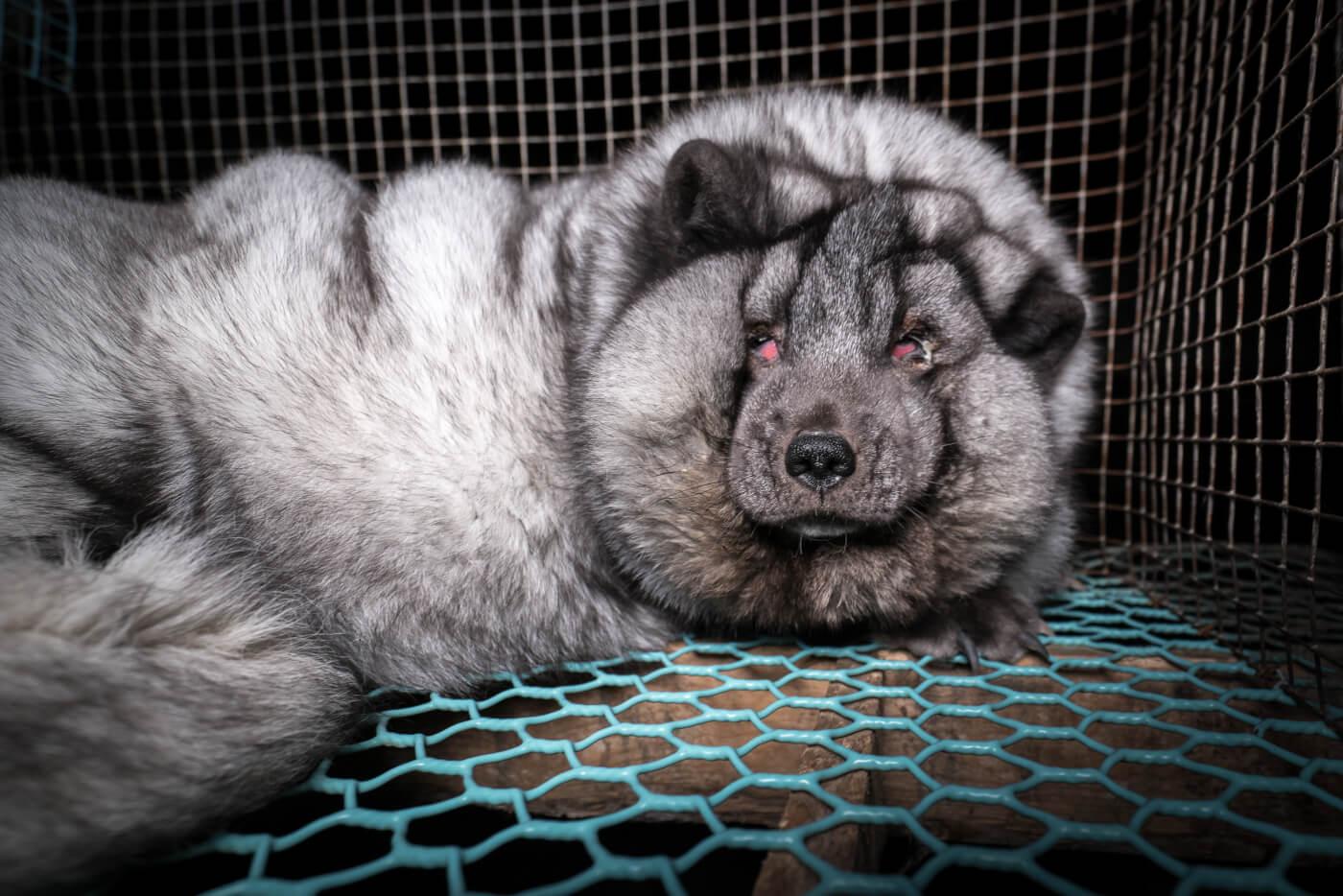 In Finland worden vossen met ernstig overgewicht gefokt voor bont