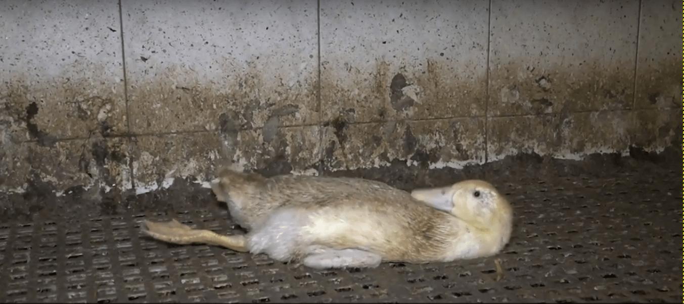 Onthuld: gewonde en misvormde eenden die in erbarmelijke omstandigheden leven op een Duitse boerderij, dat producten levert aan een een Nederlandse bedrijf