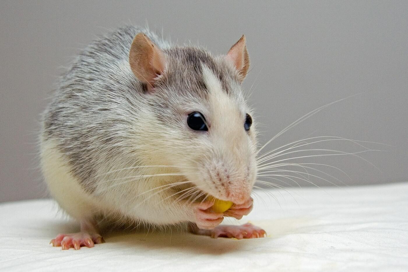 Hoe PETA helpt om proefdiervrije oplossingen te vinden voor EU-verordeningen met betrekking tot chemische stoffen
