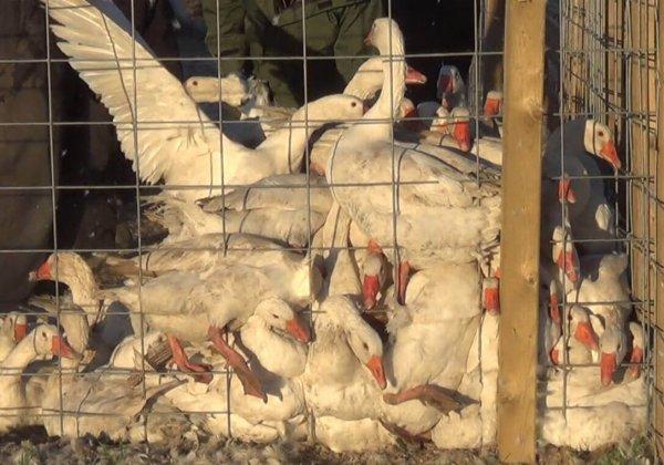 Ganzen verpletterd en verstikt bij donsleverancier van Canada Goose