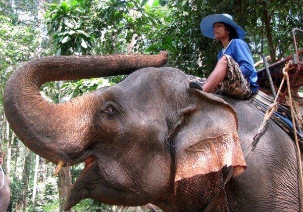 Olifanten die worden gedwongen toeristen te vervoeren, worden geslagen en gekweld
