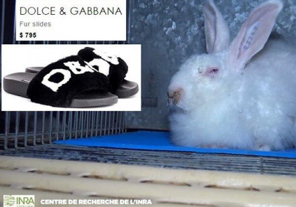 Dolce & Gabbana verkoopt bont van gemartelde konijnen