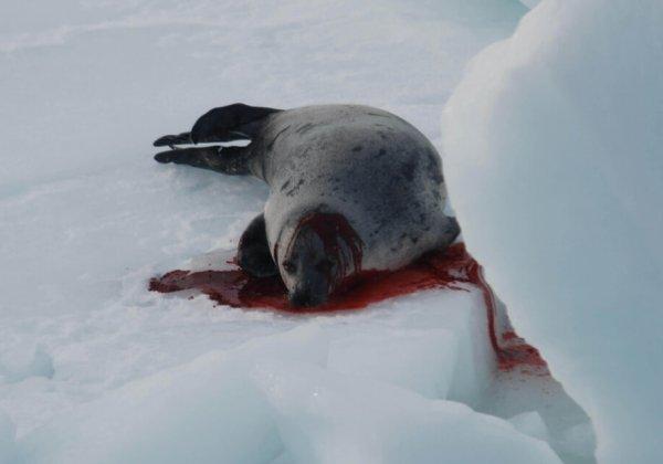 Help een eind te maken aan de commerciële zeehondenslacht in Canada