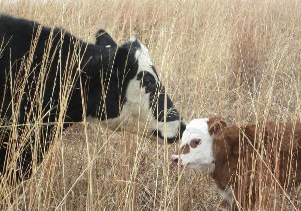 Moeder koe en kalf