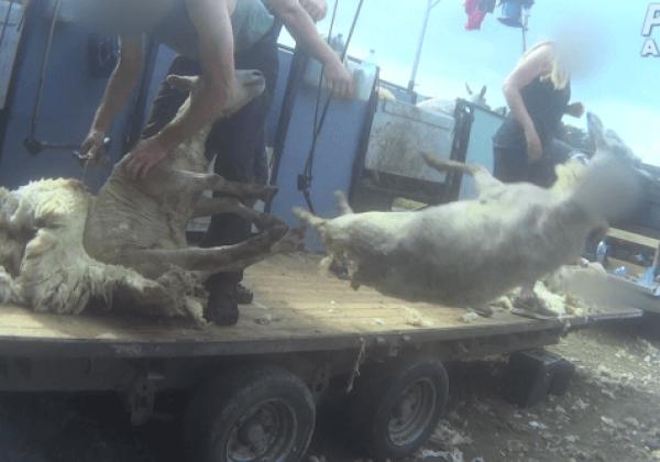 Nieuw onderzoek: Schapen in het Verenigd Koninkrijk geslagen, getrapt, gesneden en gedood voor wol