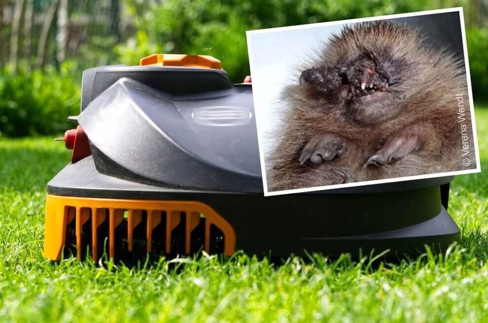 Robotgrasmaaier gevaarlijk voor egels – dieren verminkt door automatisch tuinieren