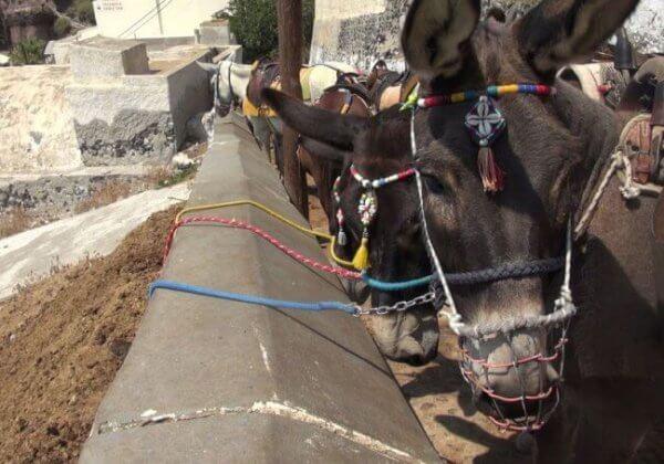 Donkeys tied up Santorini