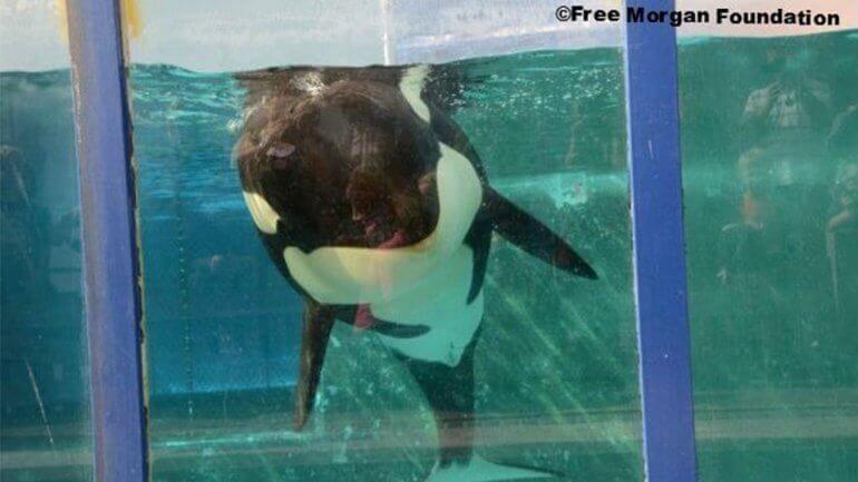 Morgan bevalt: nog een orka gedoemd tot een leven in een klein, betonnen bassin