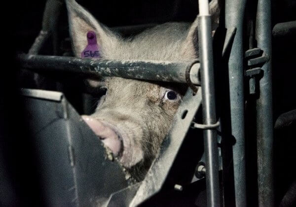 EU-burgers, help een einde te maken aan kooien in de Europese veehouderij.