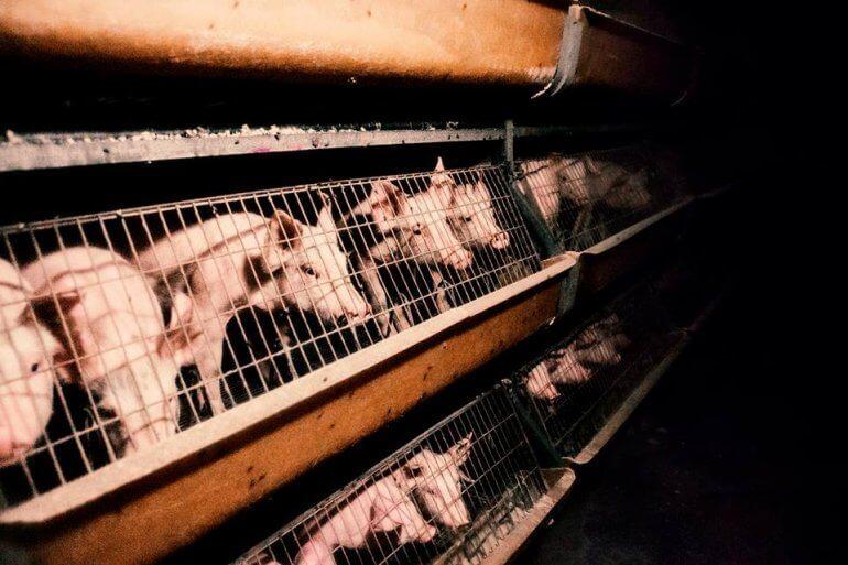 We schrijven geschiedenis voor dieren in de veehouderij – 1 miljoen handtekeningen om de kooien te stoppen