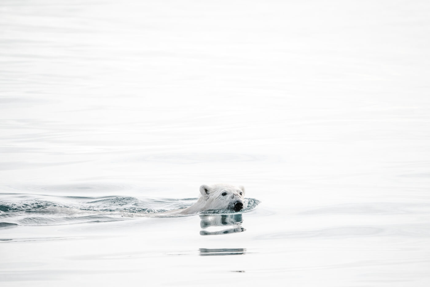 Deze hongerige ijsbeer bewijst waarom pescotariër zijn niet genoeg is