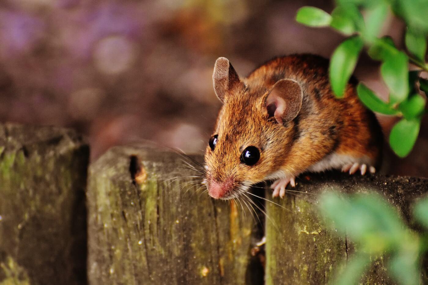 Handleiding voor het humaan verwijderen van muizen: 9 stappen voor een knaagdiervrij huis