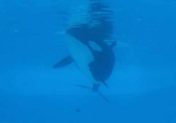 Roep op om orka's in gevangenschap over te brengen naar een zeereservaat