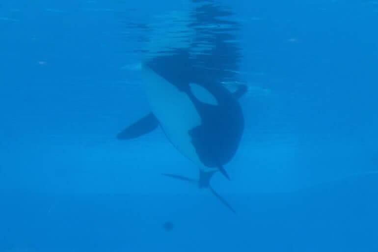 Rust in vrede: Kayla is de 42e orka die sterft in SeaWorld