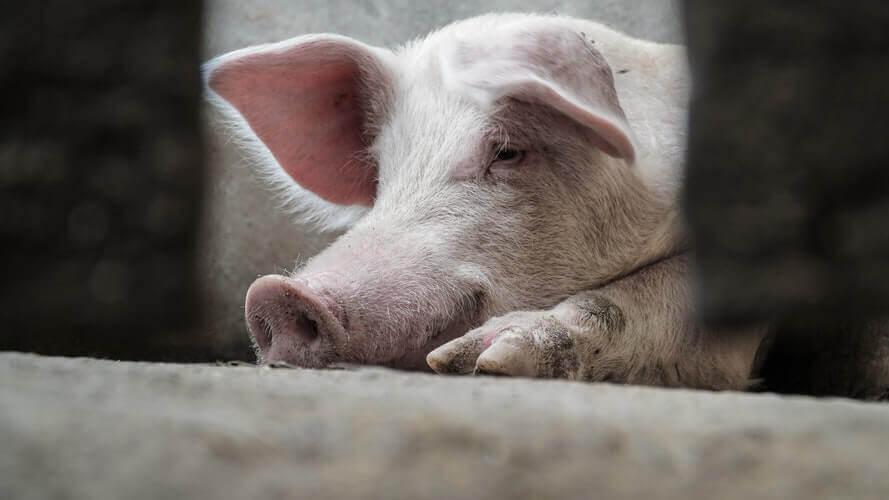 Jaar van het varken: 5 redenen waarom het leven van varkens niet van geluk is vervuld