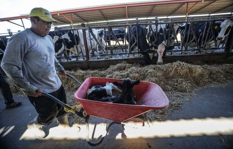 Gruwelijkheden van de vlees-, eier-, zuivel- en visindustrieën in 7 foto's