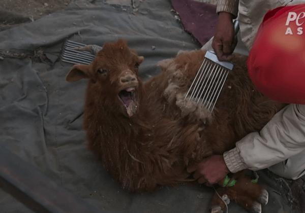 Nieuw PETA-onderzoek ontmaskert de wrede kasjmierindustrie