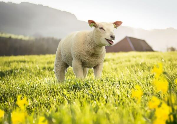 Nederlands modemerk Miss Green gebruikt in overleg met PETA geen wol meer