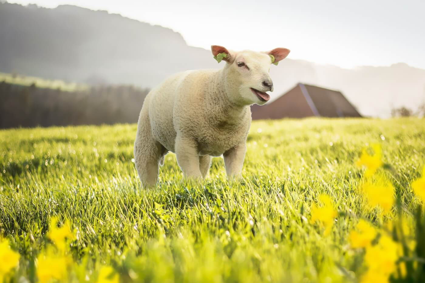 Sheep smiling in meadow