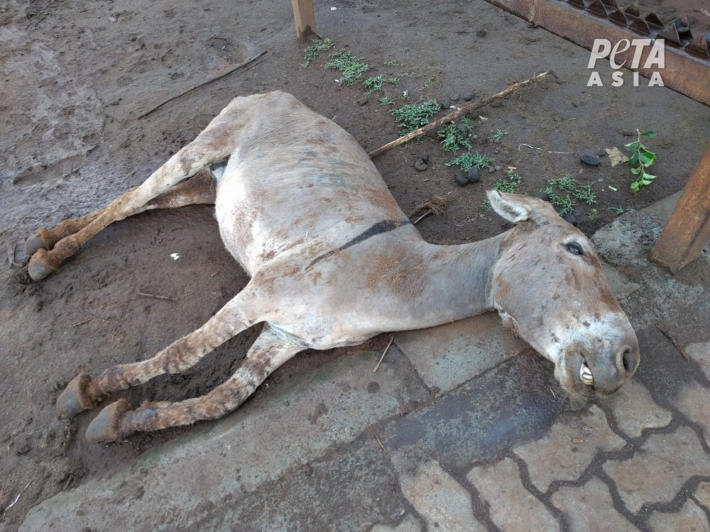 Wederom onthuld: ezels mishandeld en geslacht voor traditionele Chinese geneeskunde
