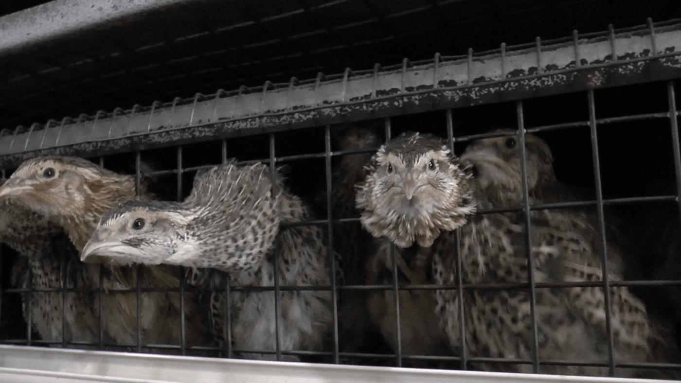 Onthuld: hoe kwartels lijden op intensieve pluimveehouderijen in Europa