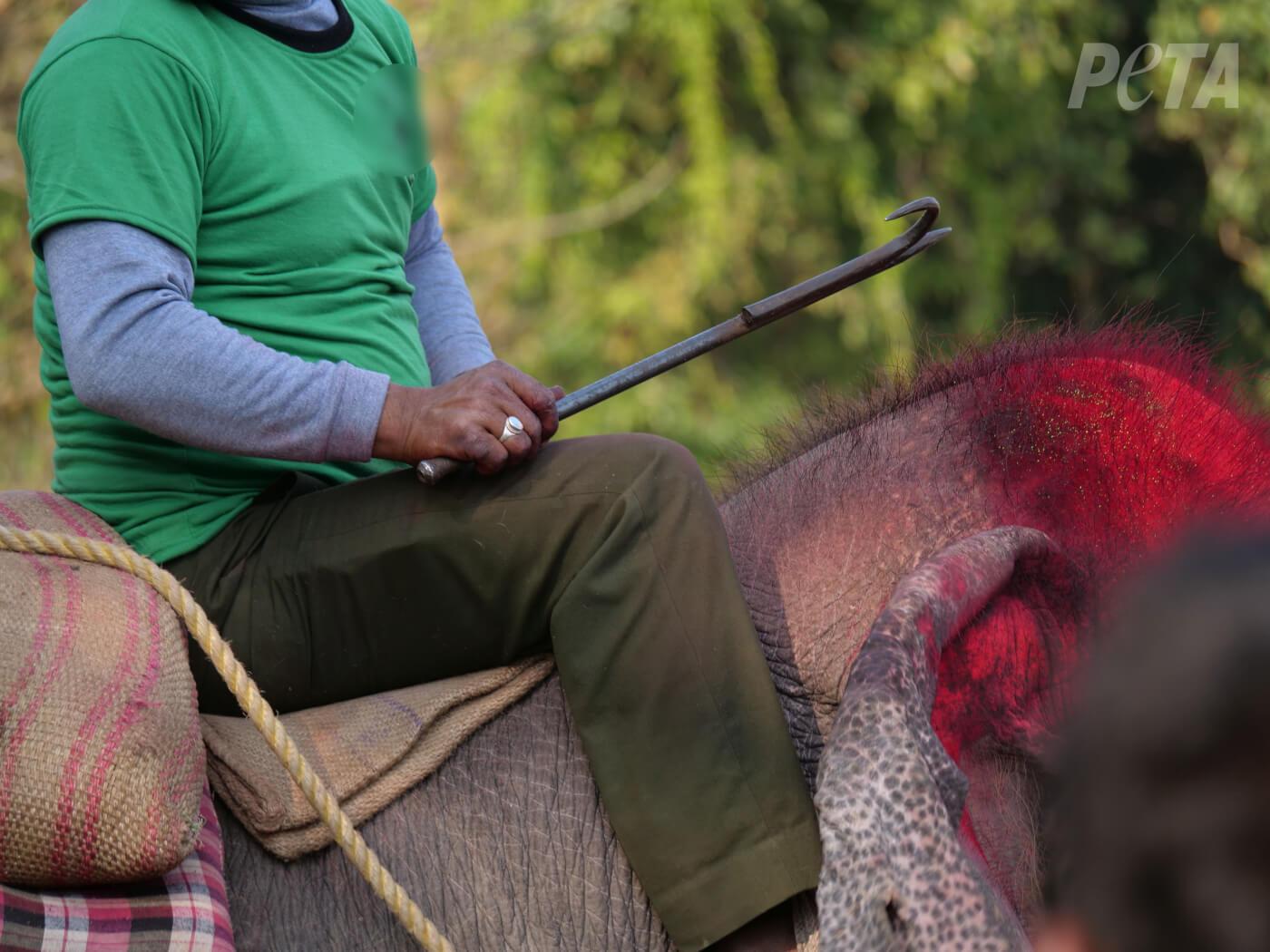 Wreedheid voor toerisme: olifanten worden tot bloedens toe geslagen op olifantenfestival in Nepal