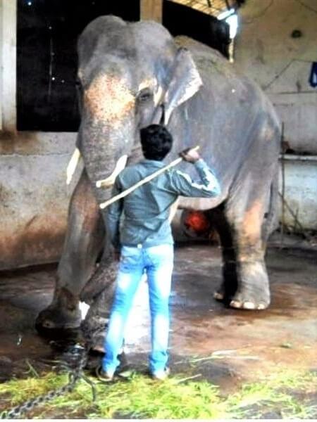 Elephant Sunder being beaten