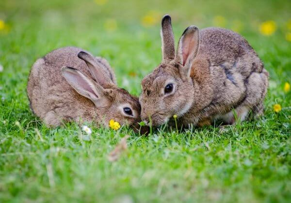 twee konijnen in het gras