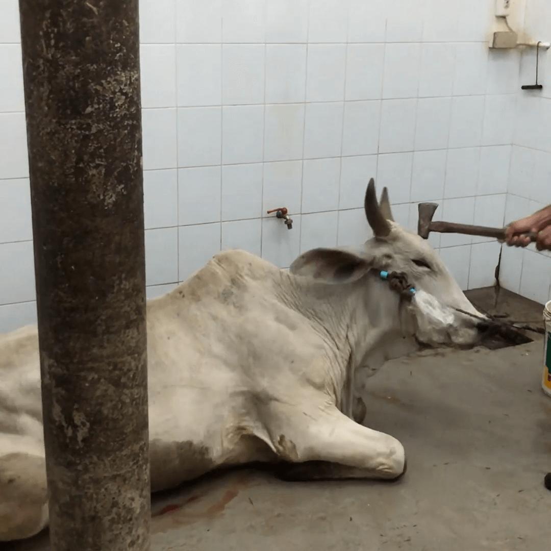 Koeien geslagen met mokers: dit is de internationale leerindustrie