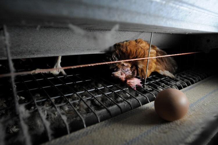 Worden kippen gedood voor eieren? Hier zijn de feiten.