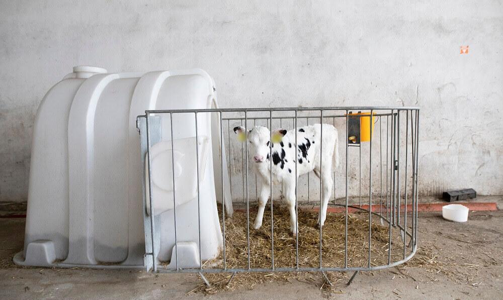 Blootgelegd: hoe kwetsbare jonge kalveren worden gekooid en geïsoleerd op veehouderijen in de EU
