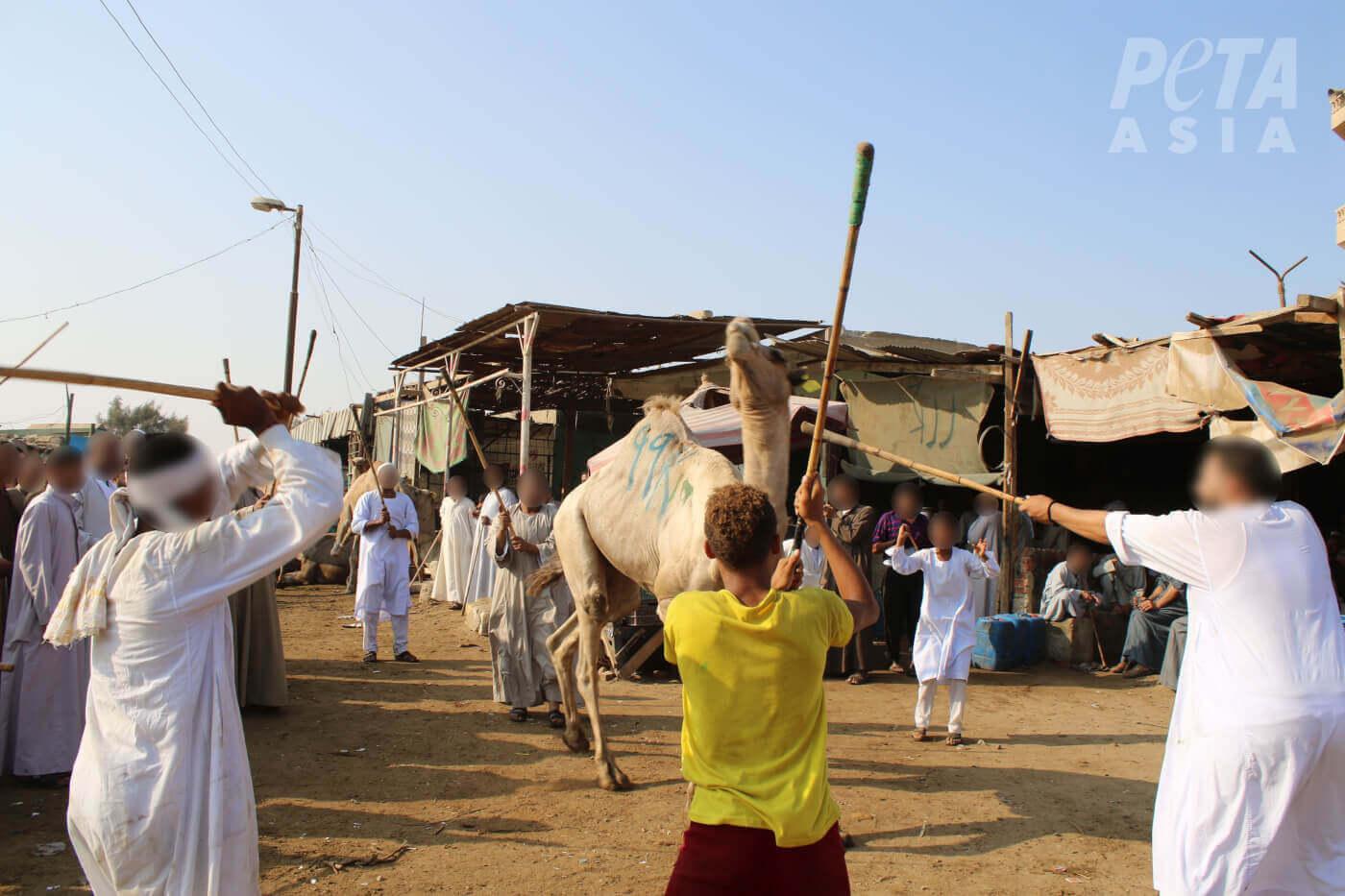 Mannen slagen een kameel