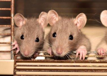Jaar van de rat: 4 manieren waarop ratten lijden in laboratoria en hoe je ze kunt helpen