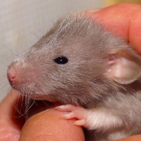 Jaar van de rat: 15 verbazingwekkende feiten over ratten