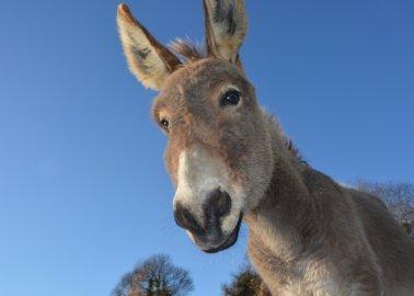 Overwinning! Kenia verbiedt het doden van ezels voor ejiao na druk van PETA
