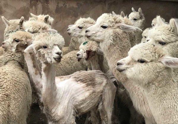 Alpaca's rondgegooid en gesneden voor truien en sjaals – waarom ondersteunt Anthropologie dit nog steeds?