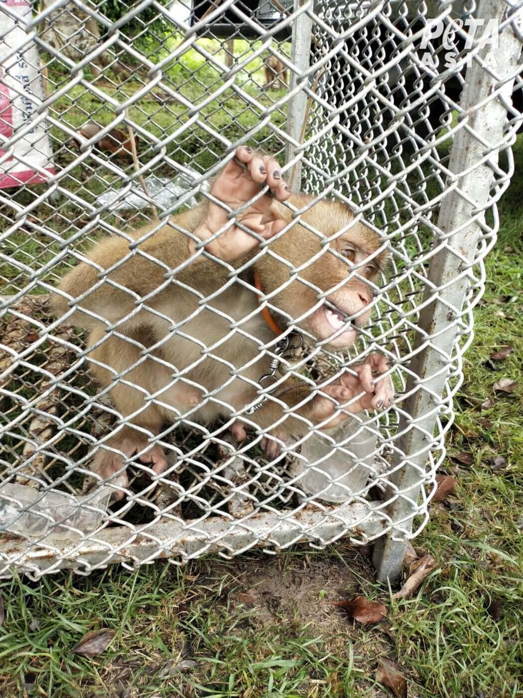 Wreedheid in je kokosmelk? Doodsbange apen worden gebruikt als slaven