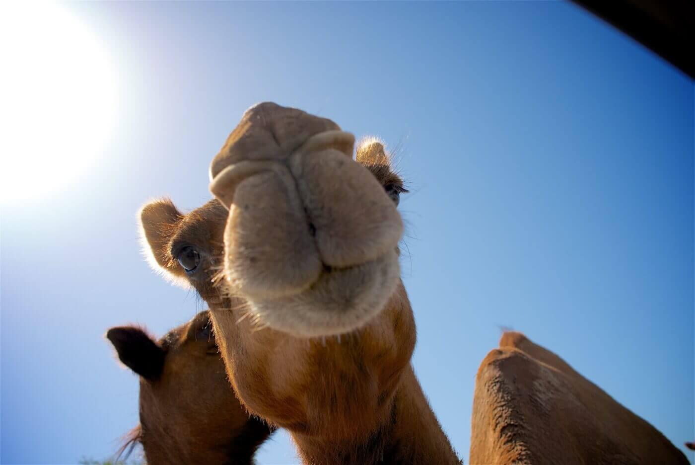 Fantastisch nieuws! Dierenritten worden verboden bij de piramides van Gizeh na PETA-campagne