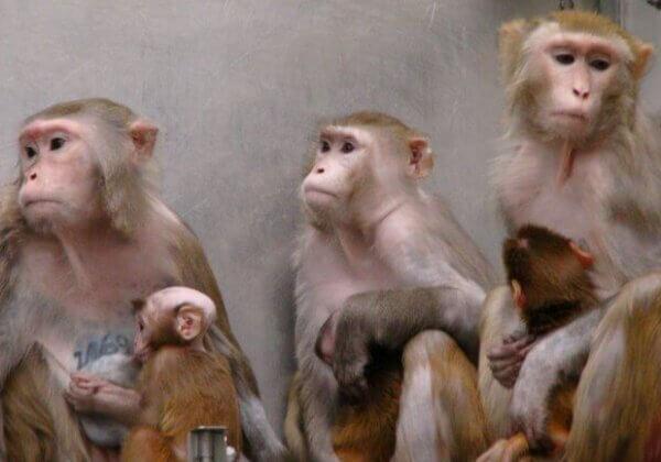 Iggy Pop doneert 'Free' om te helpen wrede apenexperimenten te stoppen