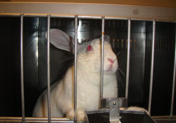 PETA en andere dierenrechtengroepen werken samen nu het EU-dierproefverbod voor cosmetica wordt vernield.