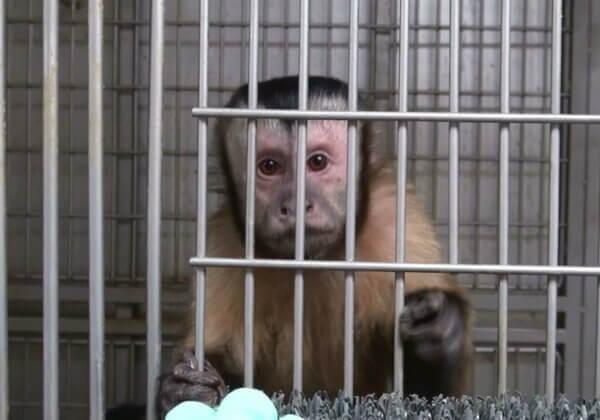 114.884 aanhangers van PETA-zusterorganisaties spreken zich uit voor apen in het grootste primatenonderzoekslaboratorium van Europa.