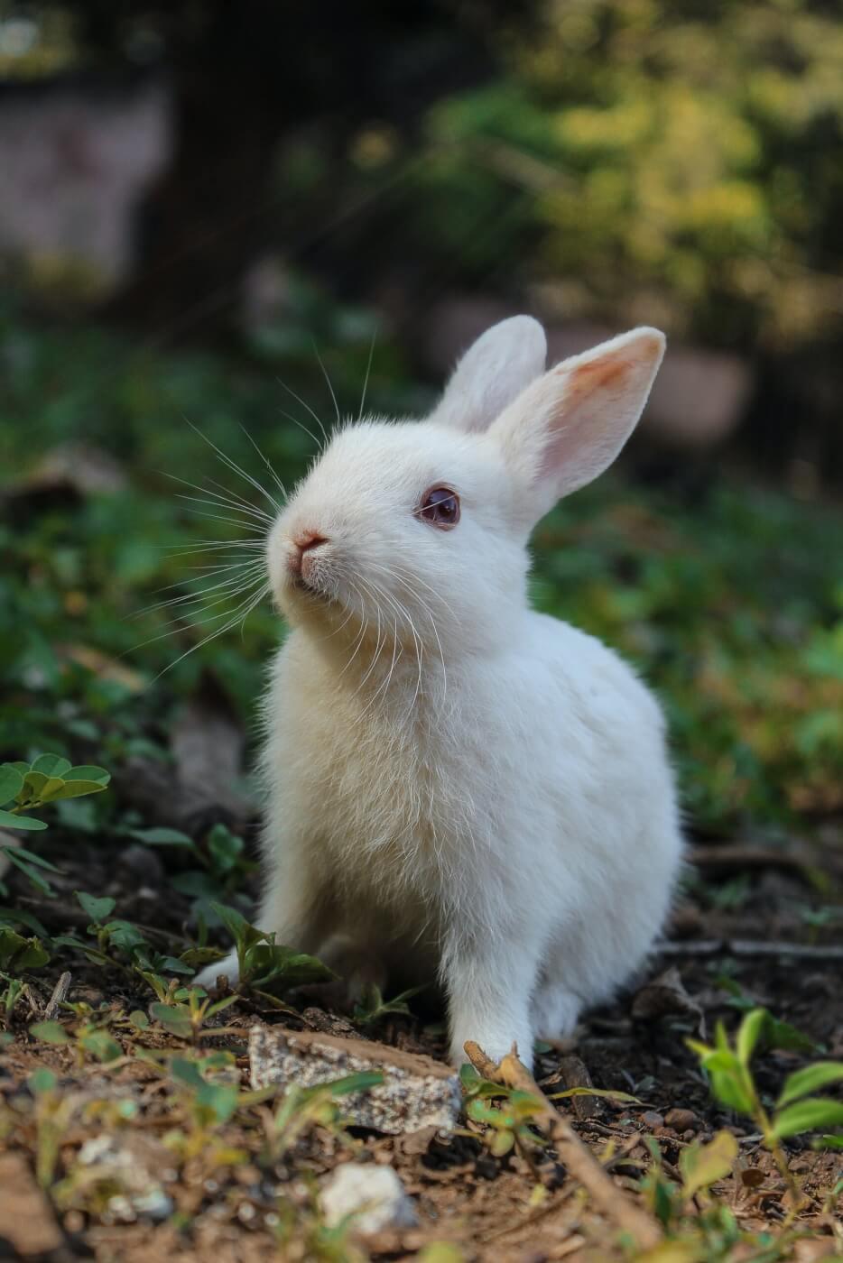 Geweldig nieuws voor konijnen! American Vintage verbiedt angora